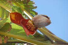 Banana Blossom Royalty Free Stock Photos