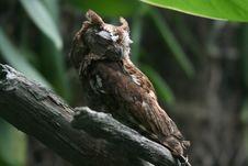 Eastern Screech Owl Sleeping Stock Image