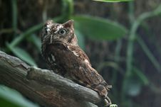 Free Eastern Screech Owl Scared Stock Photos - 4530433