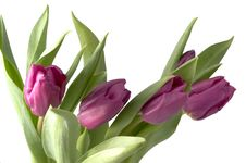 Free Violet Tulips Royalty Free Stock Images - 4532139