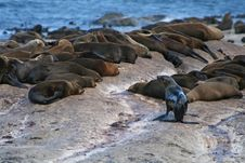 Free Sea Lion Colony Royalty Free Stock Photos - 4532218