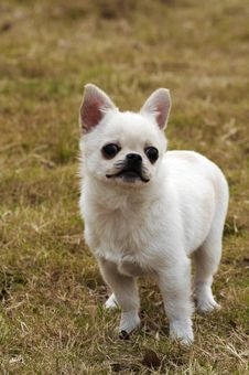 Free Lovely Dog,Chihuahua Royalty Free Stock Photo - 4532315