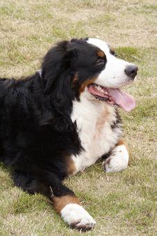 Free Bernese Mountain Dog Stock Image - 4532351