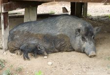 Free Wild Pigs Stock Image - 4532521