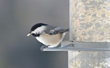Free Hungry Black Capped Chickadee Royalty Free Stock Image - 4532696