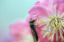 Free Gadfly And Peach Blossom Royalty Free Stock Images - 4533789