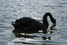Free Black Swan Stock Photo - 4534230