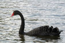 Free Black Swan Stock Photo - 4534310