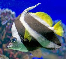 Bannerfish 1 Royalty Free Stock Photos