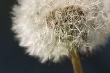 Free Macro Dandelion Blossom Stock Image - 4535381