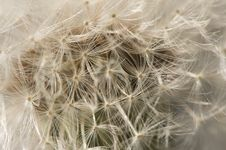 Free Macro Dandelion Blossom Stock Photo - 4535410