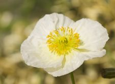 Free Macro White Iceland Poppy Bloom Royalty Free Stock Photography - 4535447