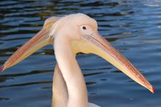 Free Pelican Stock Photography - 4535482