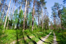 Free Piny Forest Stock Photography - 4536602