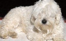 Free White Dog Royalty Free Stock Images - 4536739