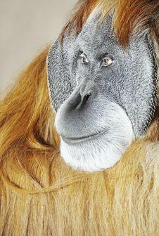 Free Orangutan Stock Images - 4536794