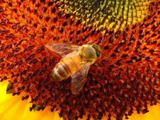 Free Bee In Sunflowr Stock Photography - 4537112