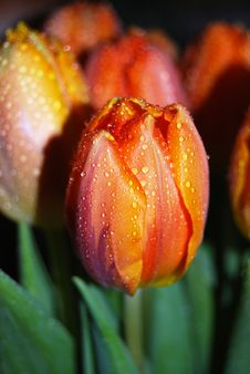 Free Beautiful Tulip Buds Royalty Free Stock Image - 4537126