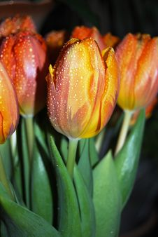 Free Water Drops On First Spring Tulips Royalty Free Stock Photos - 4537398