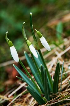 Free First Snowdrops Royalty Free Stock Photo - 4537445
