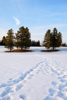 Free Pines In The Park Stock Image - 4538181