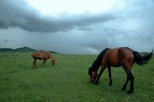 Free Horses Eating Green Grass Royalty Free Stock Images - 4538189