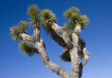 Free Joshua Tree Stock Photos - 4538473