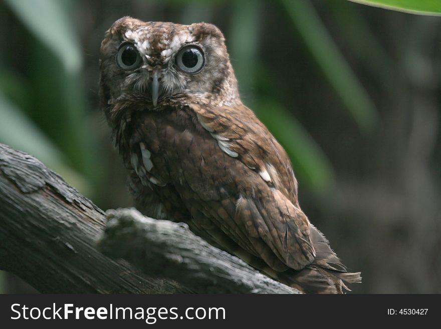 Eastern Screech Owl Wide Eyed