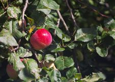 Bright Red Apple On A Branch Stock Photo