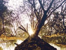 Free Bottom View Of Pine Tree Stock Image - 45330951