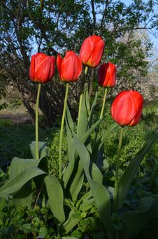 Free Red Tulips Stock Photo - 45351050