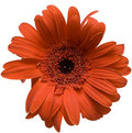 Free Deep Orange Gerber Stock Images - 4540334