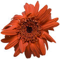 Free Deep Orange Gerber 2 Stock Image - 4540341