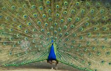 Free Peacock Stock Photography - 4541932