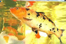 KOi Carps In Aquarium Royalty Free Stock Photos