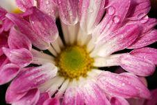 Free Purple Chrysanthemum Stock Photography - 4542682