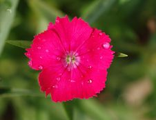 Free Spring Pink,sweet William Stock Photos - 4542693