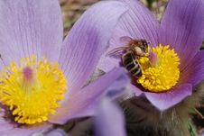 Free Bee Worker Gathering Honey On Spring Flowers Stock Photo - 4543600