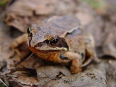 Free Frog Royalty Free Stock Photos - 4543838