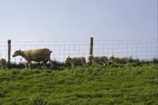 Free Sheep Stock Images - 4544894