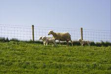 Free Sheep Royalty Free Stock Photo - 4544915