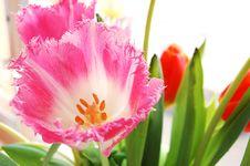 Free Pink Tulip Stock Photos - 4545053