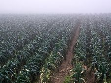Field Of Leeks Royalty Free Stock Photography