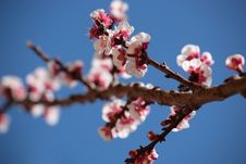Apricot Tree Spring Blossoms Stock Images