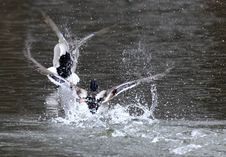 Free Mallards Chasing Each Other In The Pond Royalty Free Stock Image - 4546416