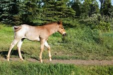 Free Red Roan Foal Stock Images - 4547124