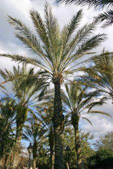 Free Desert Palm Royalty Free Stock Photos - 4547308