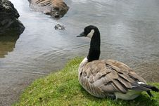 Free Canada Goose Royalty Free Stock Photo - 4547315
