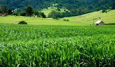 Free Cornfields Stock Photo - 4547340