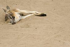 Kangaroo Siesta Royalty Free Stock Images